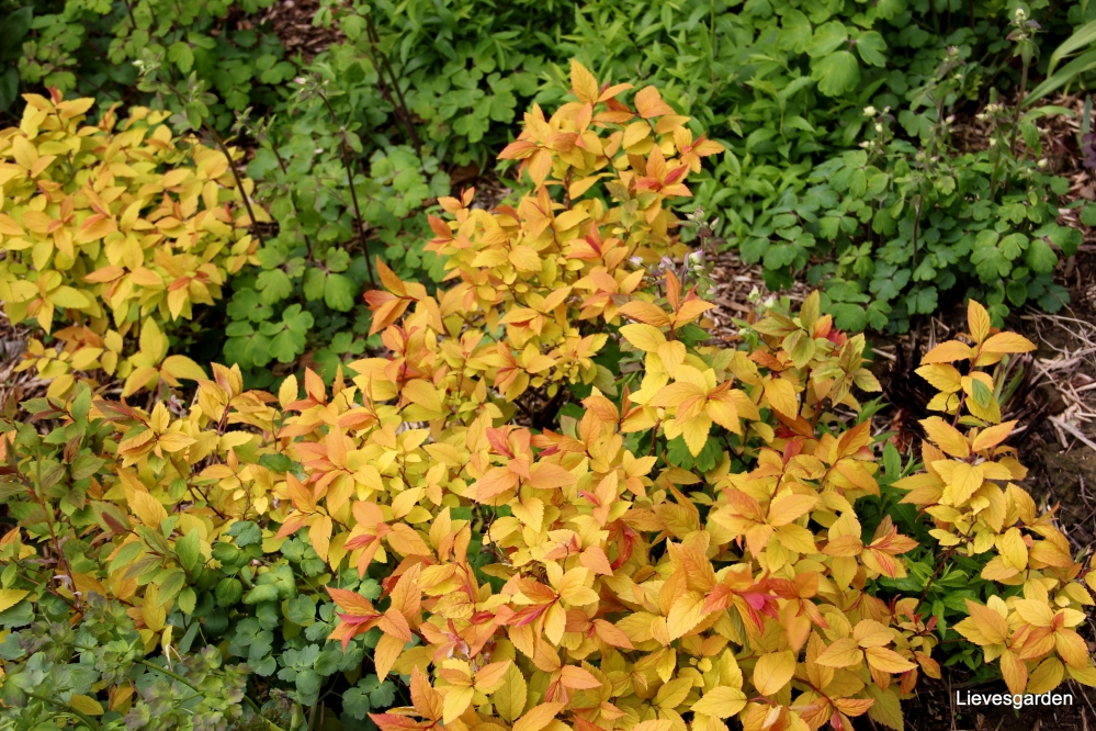 viburnum opulus  rosea,spirea vanhouttei   spierstruik,spirea japonica  goldflame