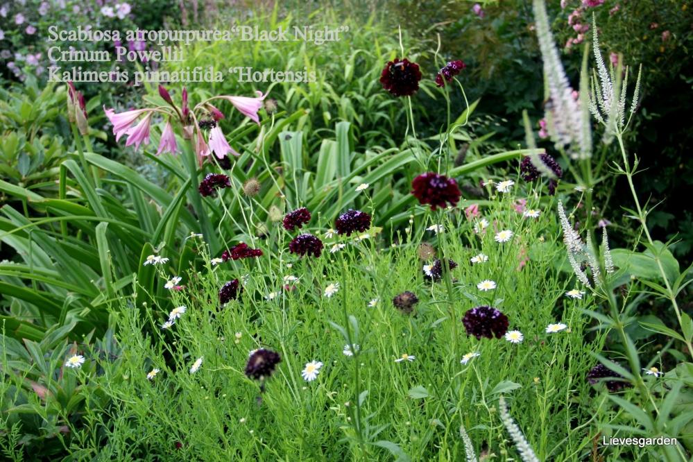 crinum x powellii,terrasplant,bolgewas