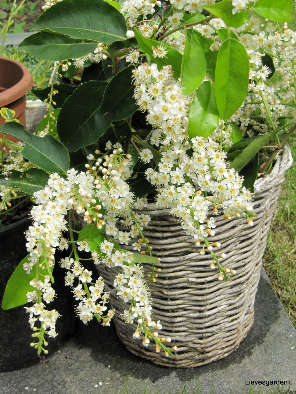 portugese laurierkers,prunus lusitanica  angustifolia