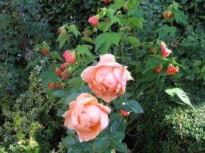 Rosa Abbaye de Cluny.jpg
