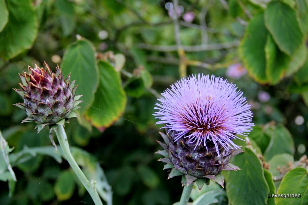 cynara cardunculus,kardoen,vaste plant,violet blauwe bloemen,snybloem,droogbloem,bladplant,distelachtig
