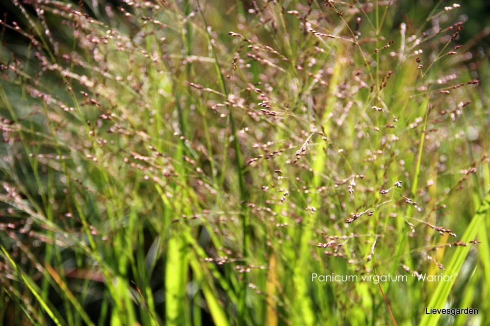 """panicum virgatum """"warrior"""",grassen"""