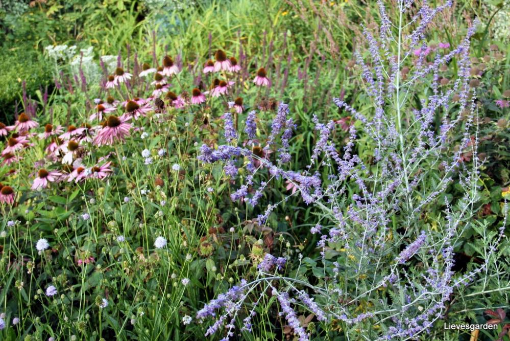 "echinacea Augustkonigin, succisella inflexa ""Frosted Pearls"", teucrium hyrcanicum ""Paradise Delight"", Perovkia ""Blue Spire"""