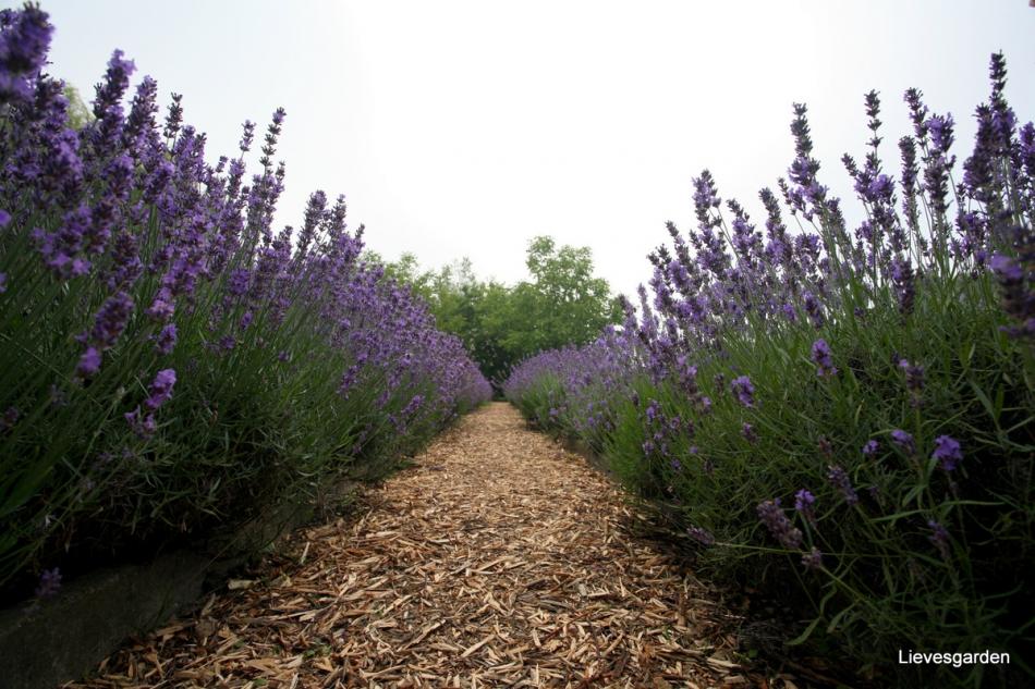 1-Lavendelwalk.jpg