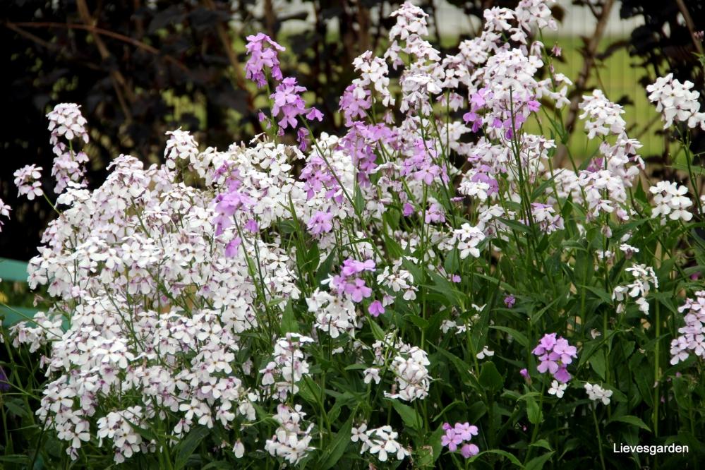 damastbloem,hesperis matronalis,vlinderplant,nachtvlinderplant,snijbloem,lentebloeier,witte  bloem,geurende bloem,lilakleurig,bijenenplant
