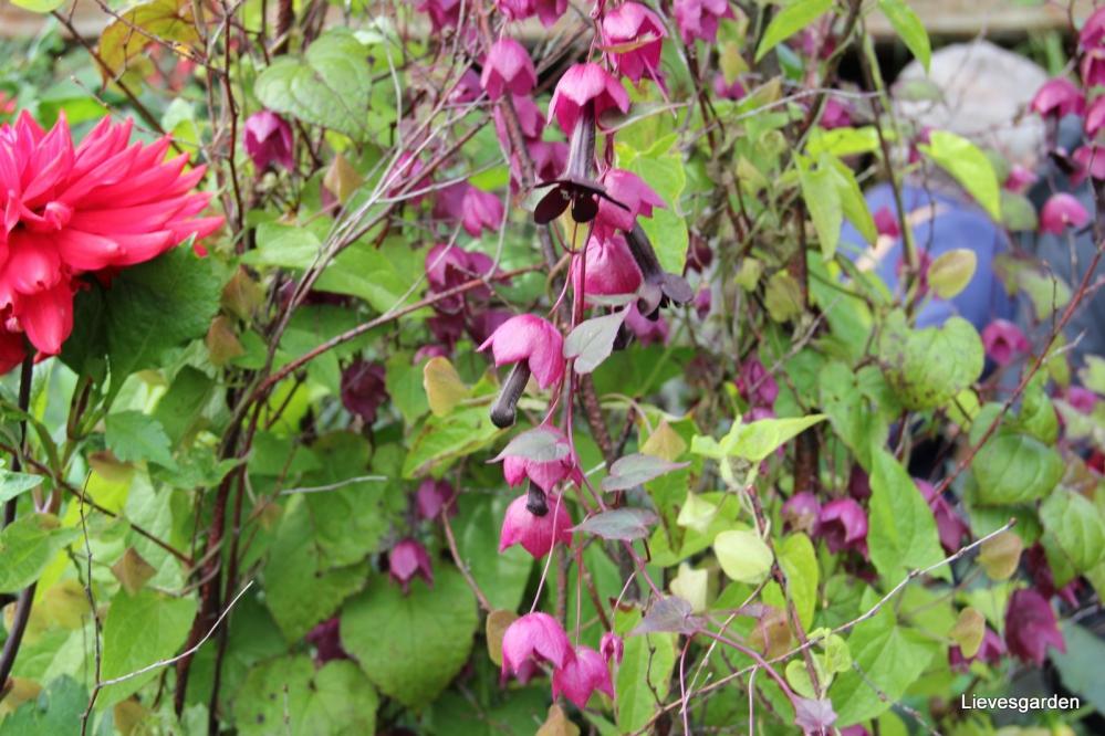1-Rhodochiton atrosanguineus , chinees purperklokje, purple bell vine.JPG