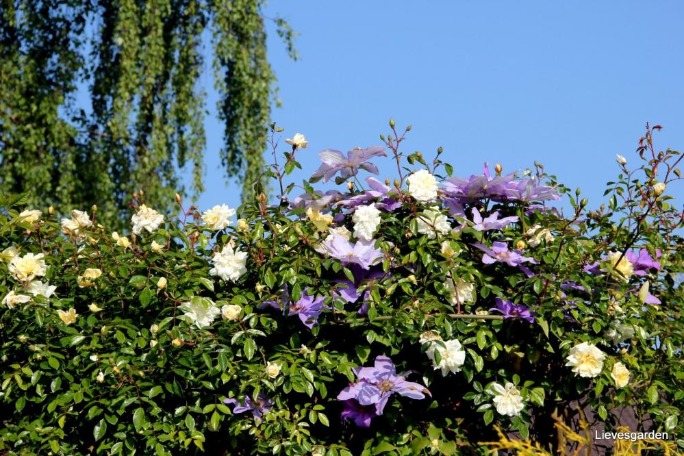 1-Mooie combinatie rosa Alberic Barbier en clematis Lawsoniana Star of India.JPG