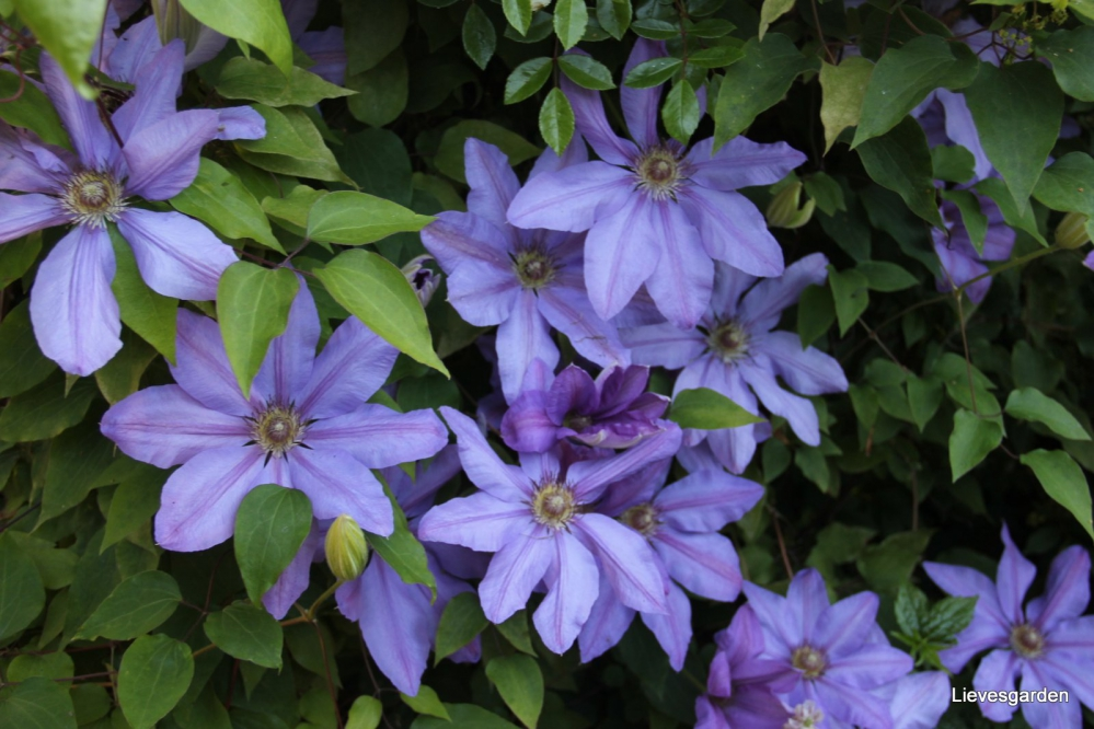 1-Clematis Lawsoniana Star of India (1).JPG