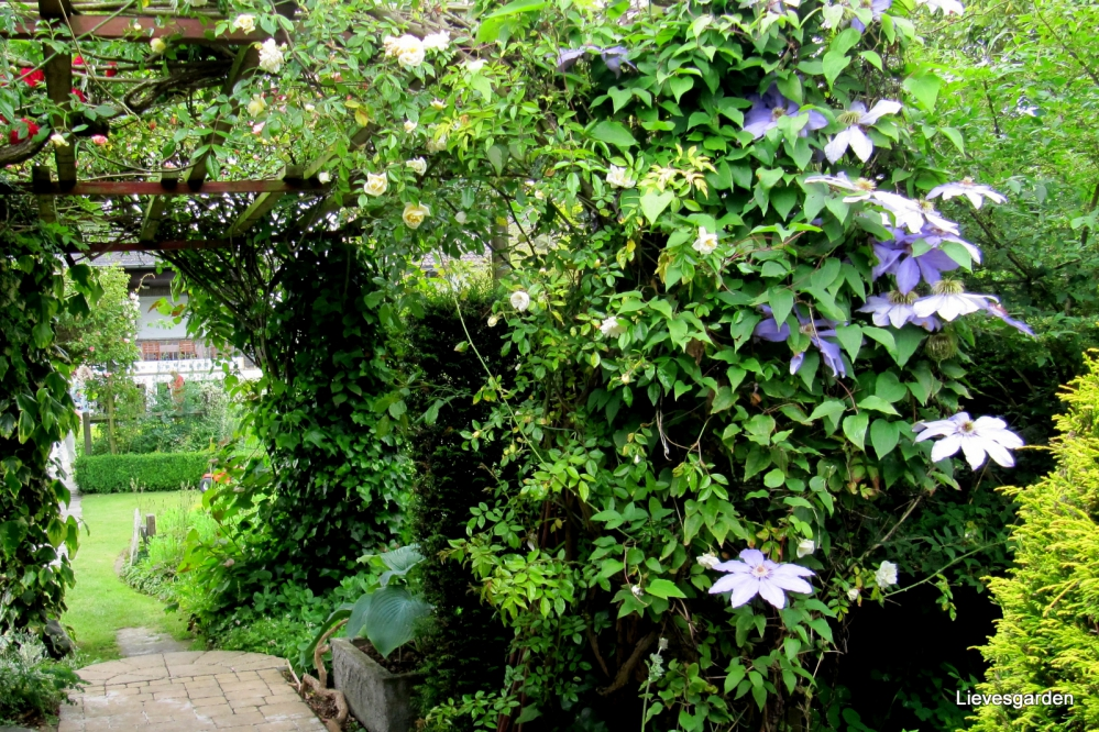 1-Clematis lawsoniana Blue star of India (2).JPG