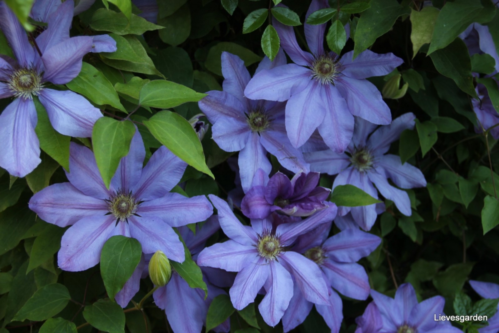 1-Clematis Lawsoniana Star of India (3).JPG