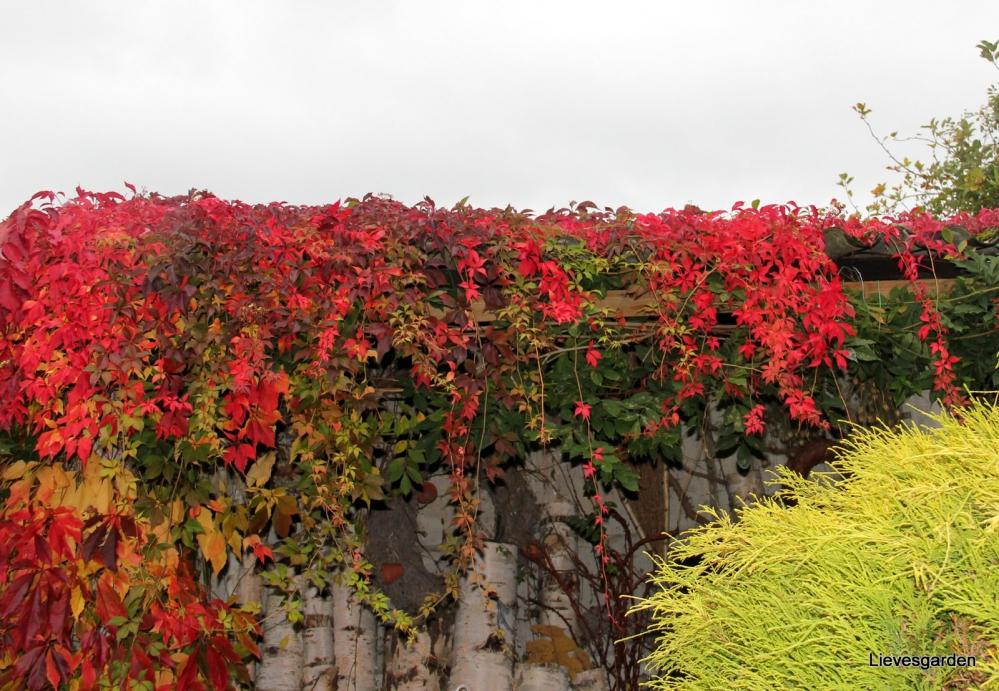 1-Rode wingerd in bloei (3).JPG