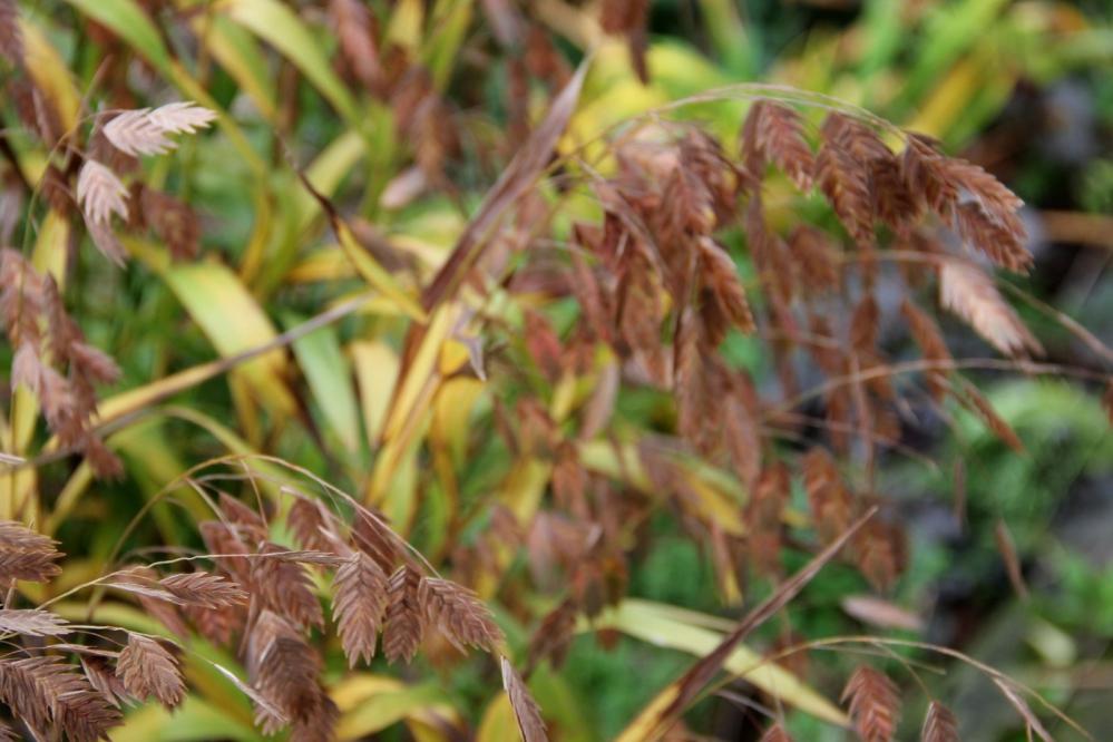 1-Chasmanthium latifolium.JPG