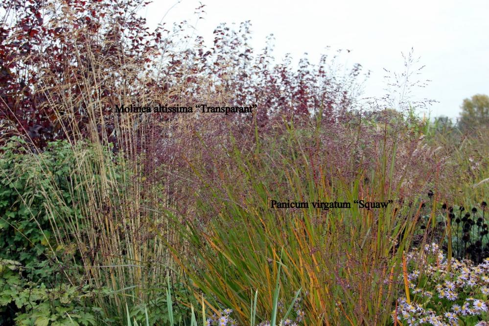 """1-Panicum virgatum """"Squaw"""" (2).JPG"""