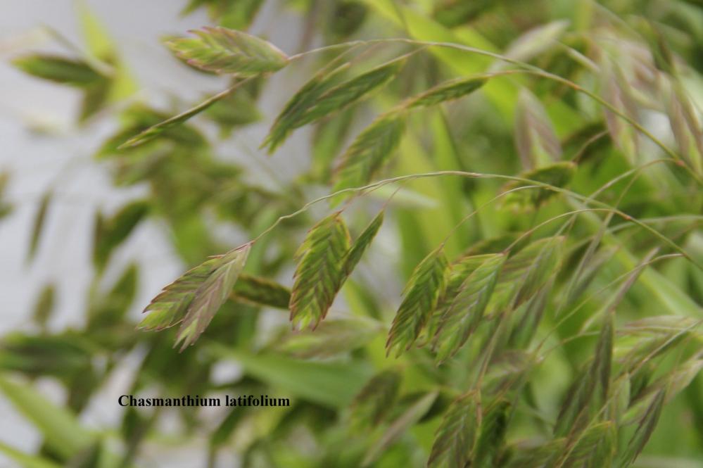 chasmanthium latifolium,plataargras,bloemschikarrangementen