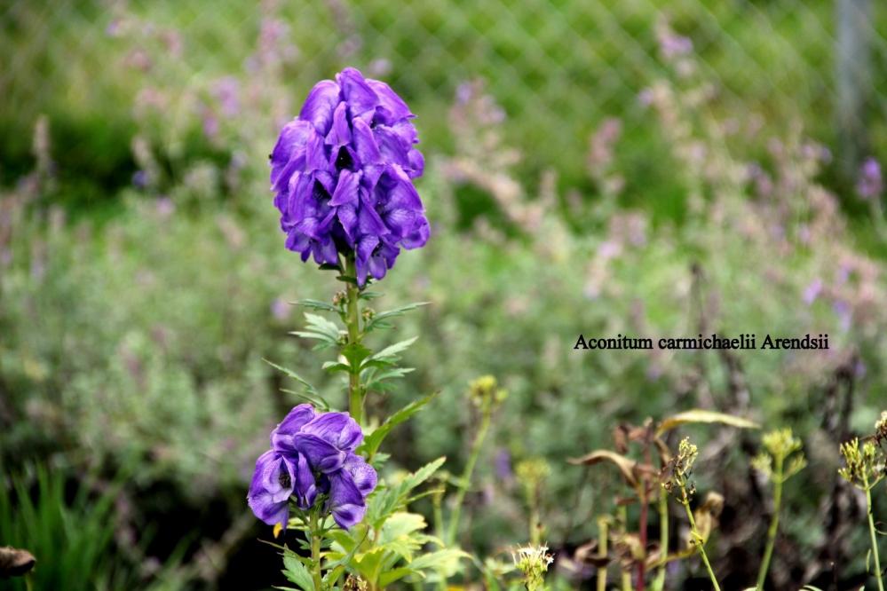 1-Aconitum carmichaelii 'Arendsii'.JPG
