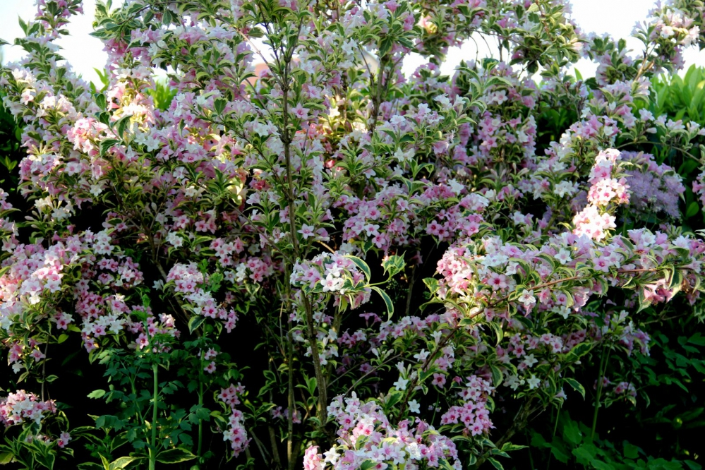 1-Weigelia florida Variegata.JPG