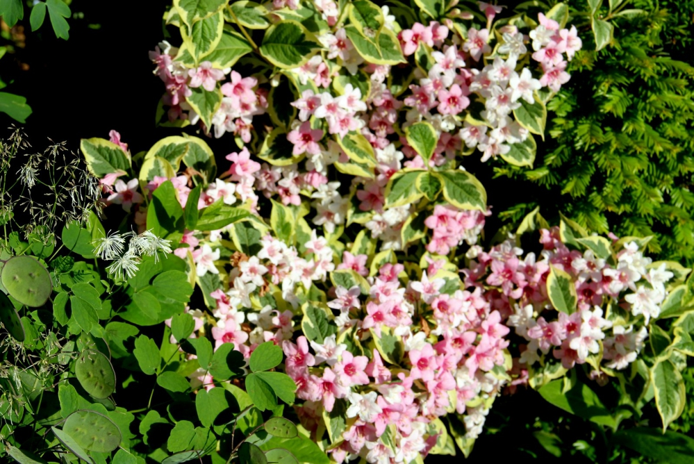 1-Weigela florida 'Variegata' (2).JPG