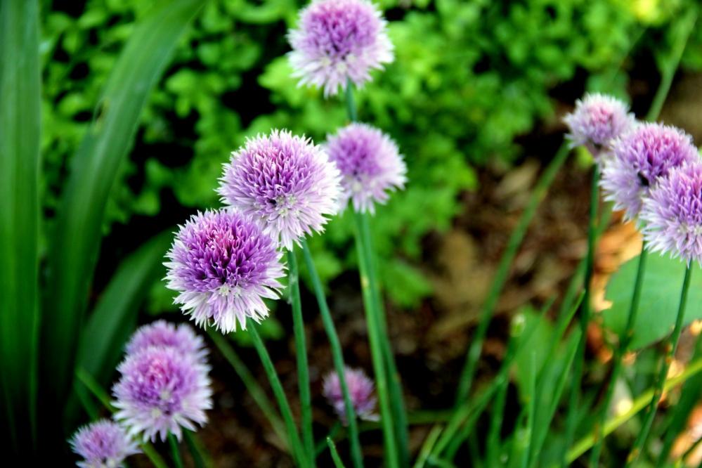 1-Bieslook (Allium schoenoprasum.JPG
