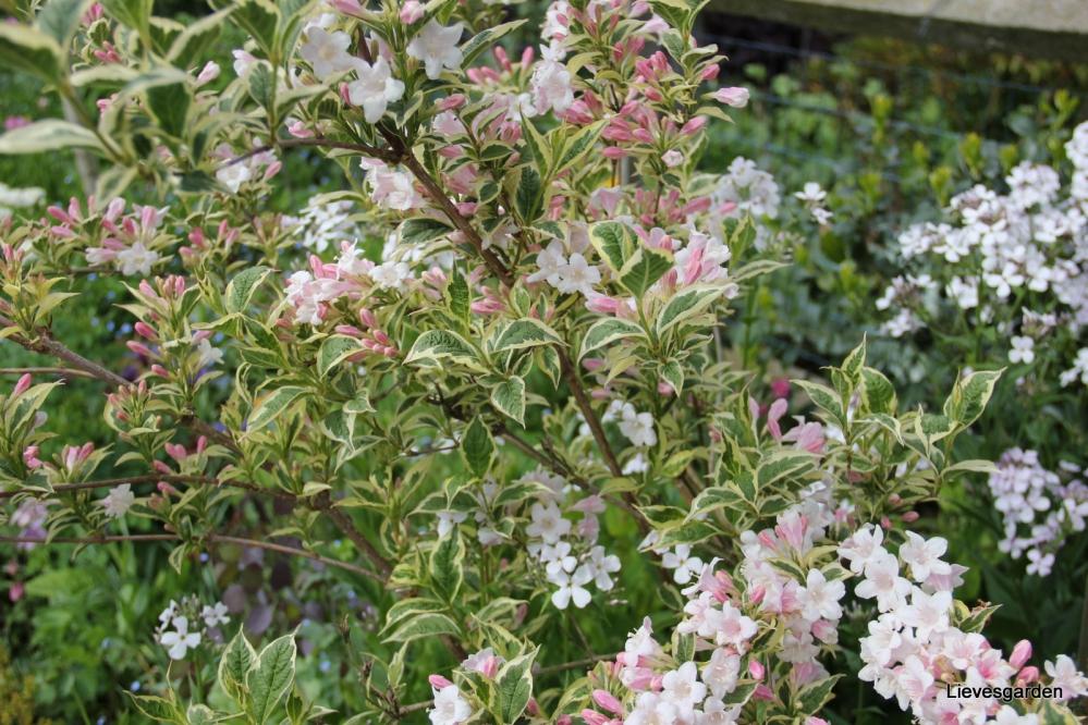 Weigelia florida variegata.JPG