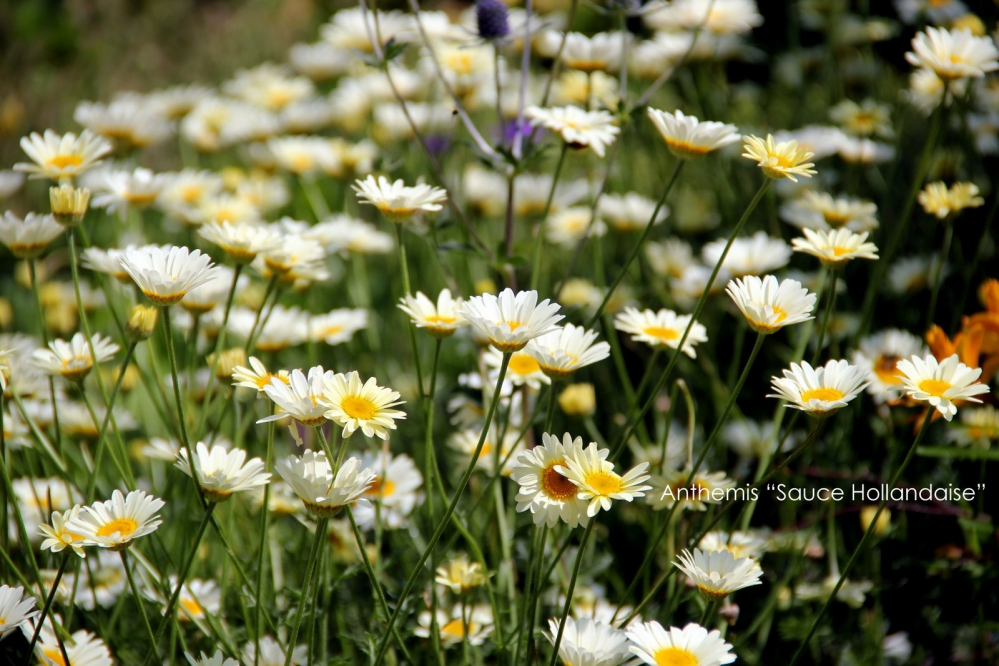 1-Anthemis 'Sauce Hollandaise' (2).JPG