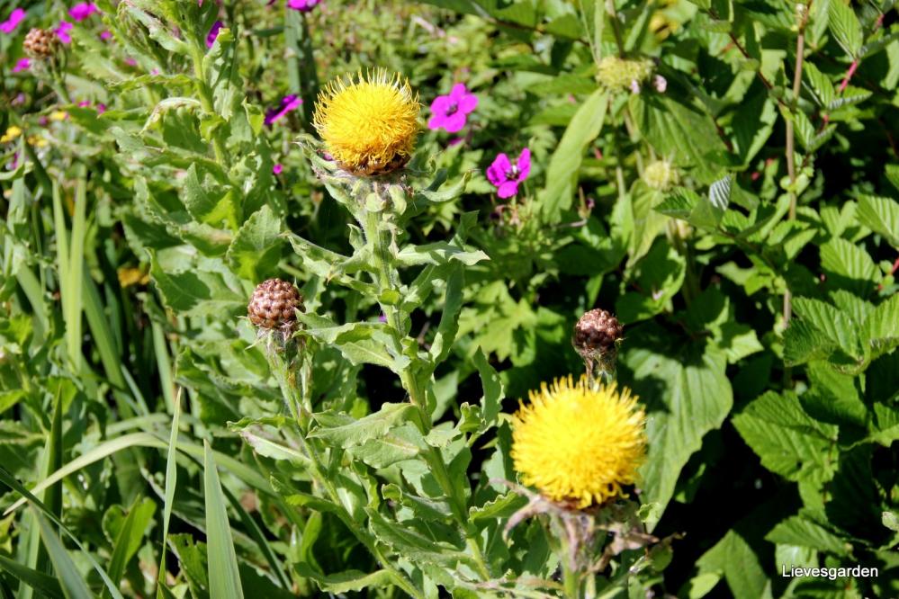 centaurea macrocephala,bijenplant,goudgele bloem,distelachtig,zomerbloeier