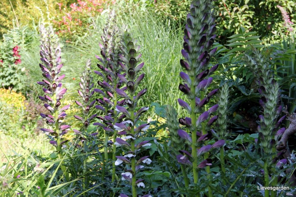 acanthus mollis,architectorale plant,vaste plant,paarse bloemen