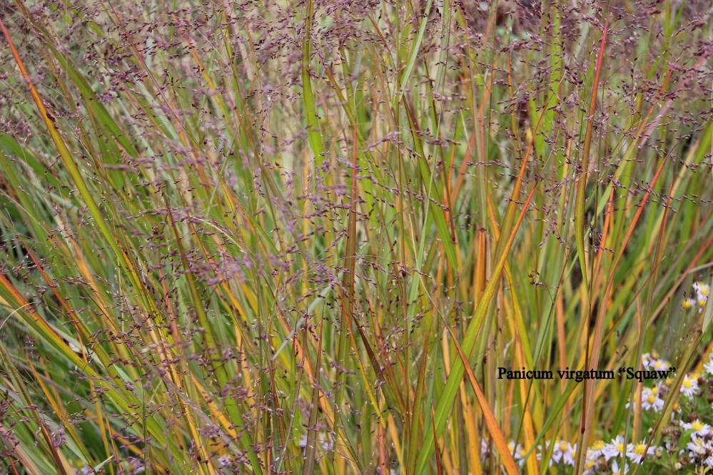 panicum virgatum squaw : vingergras,panic effilé,weefplant,blad verkleurt geel in de herfst