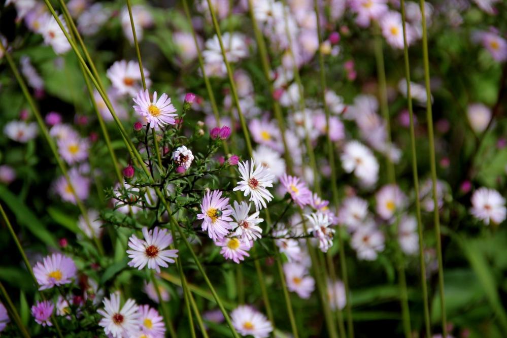 aster vasterival,meeldauwvrij,donker rode stengels,vlinder- en bijenplant,private botanische tuin van princes sturdza in vasterival