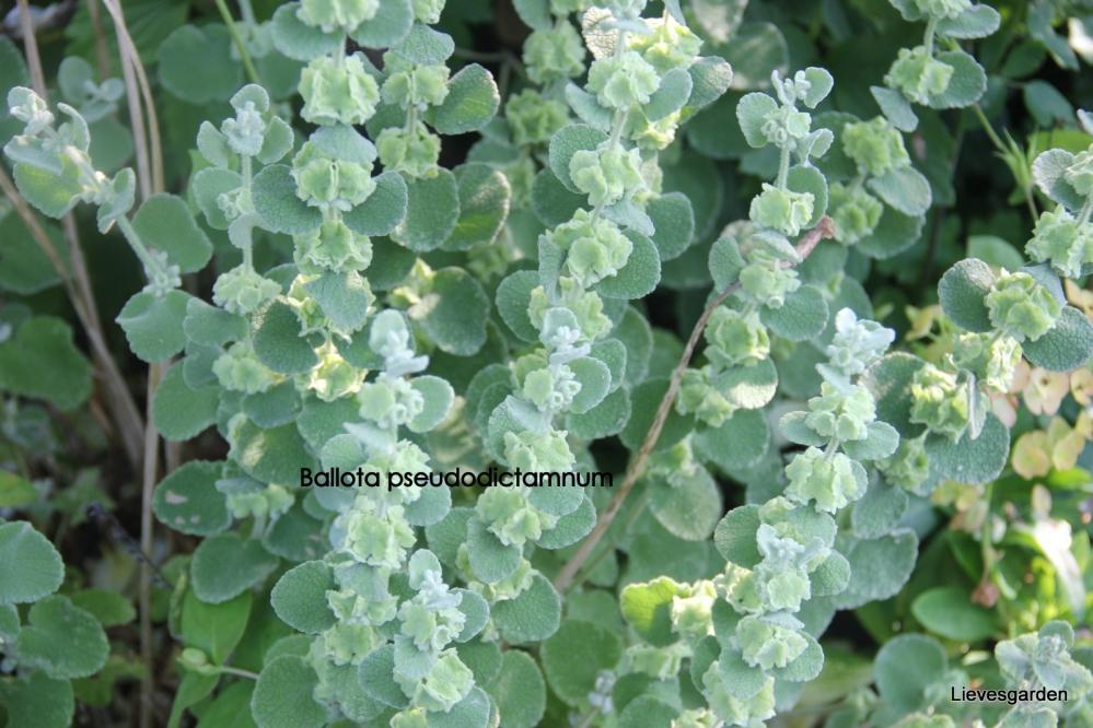 ballota pseudodictamnus,valse vuurwerkplant,grijsbladig,wintergroen,bladplant