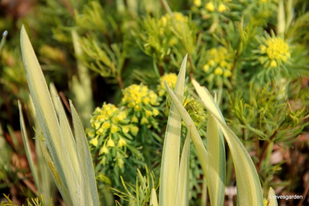 """iris pseudacorus """"variegata"""",bontbladige gele lis,vasteplant,vijverplant,moerasplant,zuurstofplant"""