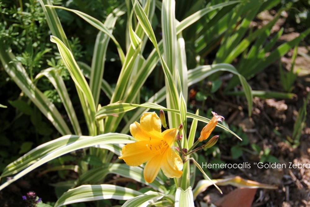 1-Hemerocallis Golden Zebra (1).JPG