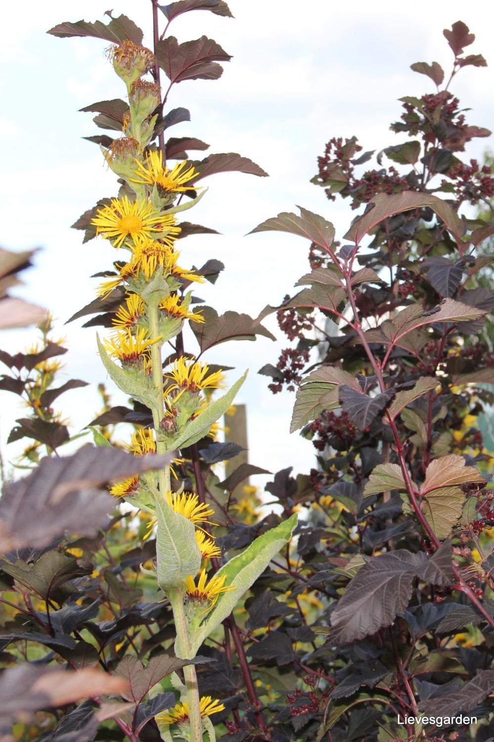"""physocarpus opulifolius """"diabolo,struik met veel sierwaarde,struik met rode zaaddozen"""