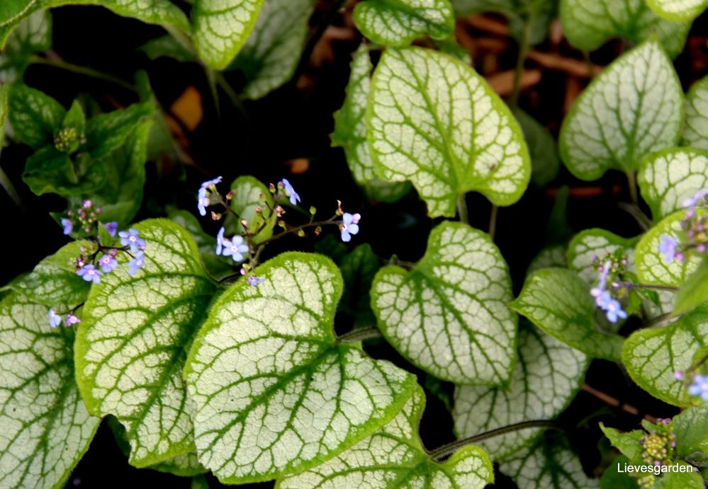 "brunnera macrophilla ""jack frost «,lentebloeier,bodembedekker,mooi blad"