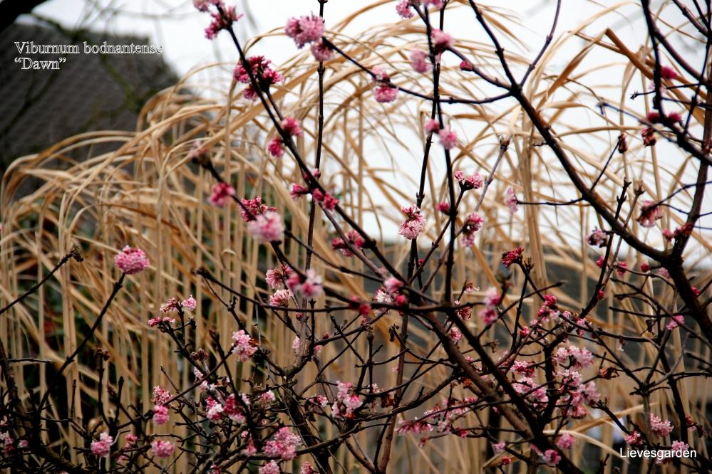 "viburnum bodnantense ""dawn"",mahonia ""charity"",salix integra ""hakuro-nishika"",winterbloeiende heesters,helleborus orientalis,hamamellis mollis,toverhazelaar"