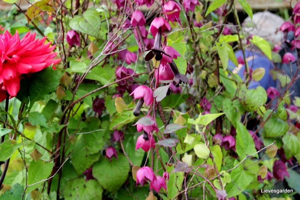 eenjarige,klimplant,terrasplant,plant voor hanging baskets,chinees purperklokje,potplant,purple bell vine,rhodochiton atrosanguineus