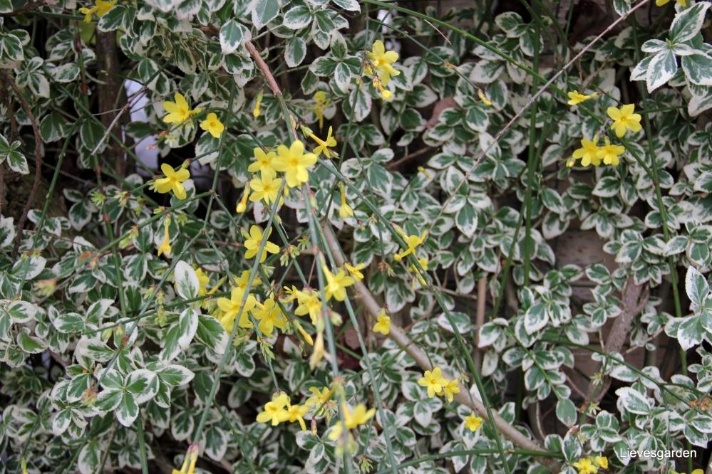 jasminus nudiflorum of winterjasmijn,winterbloeier,vegetatieve vermeerdering,gele bloemen