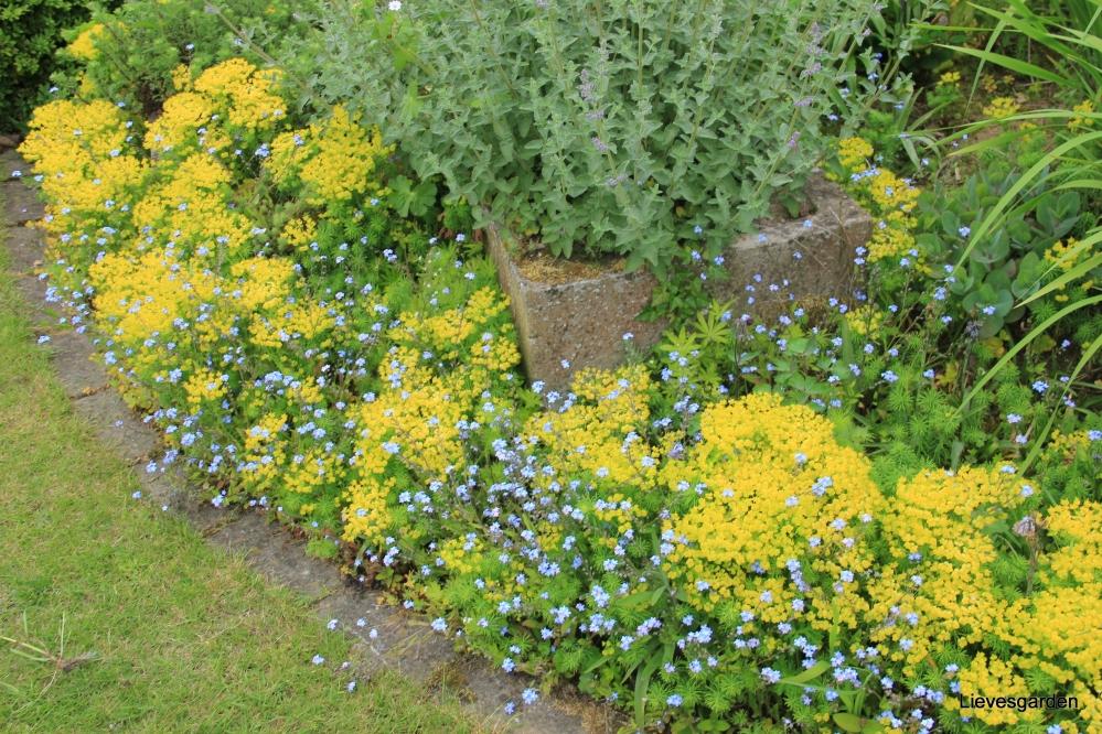 euphorbia polychroma (cushion spurge),gele lentebloeier,bodembedekker,vaste plant,rotstuin