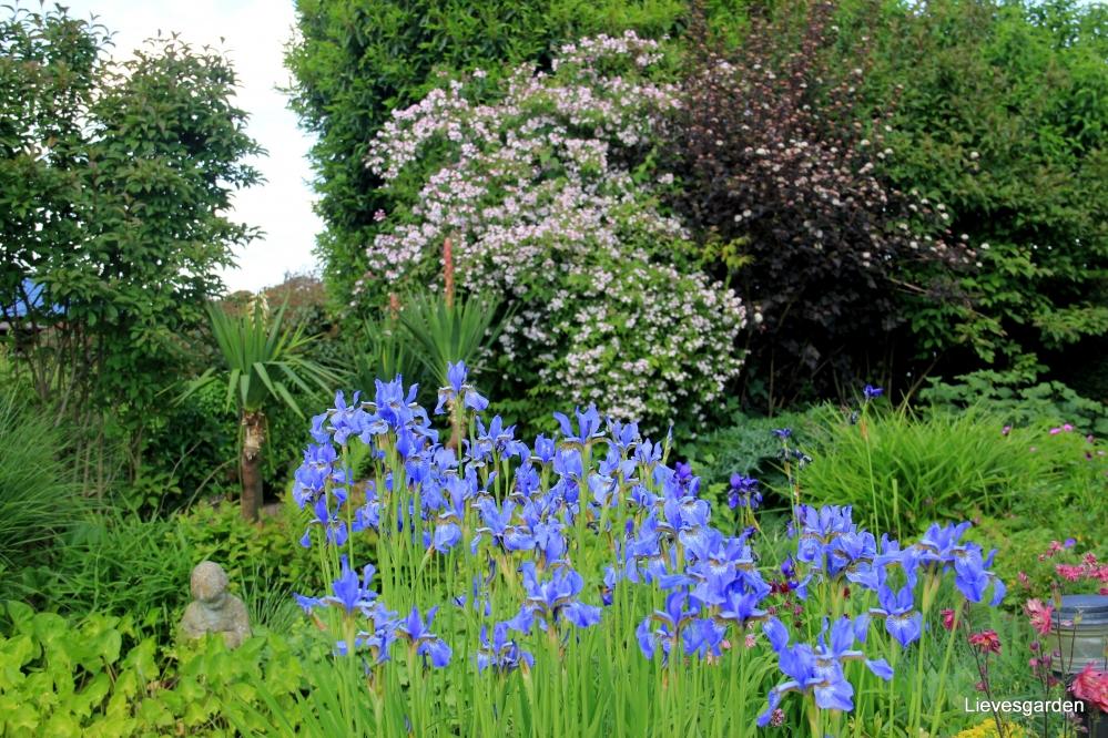 iris siberica