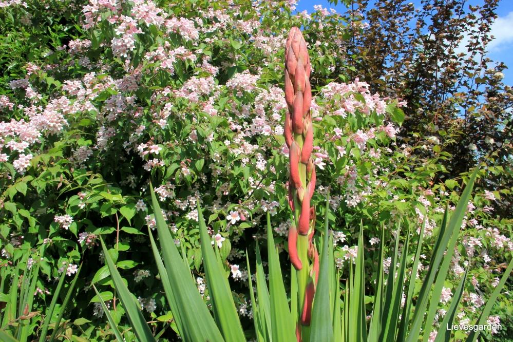 """koninginnestruik,kolkwitzia amabilis """"pink cloud"""",lentebloeier,roze klokachtige bloemen"""