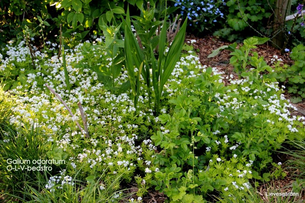 voorjaarsbloeier,geurend,bodembedekker,wintergroen,o l vrouw  bedstroo,galium odoratum,vaste plant
