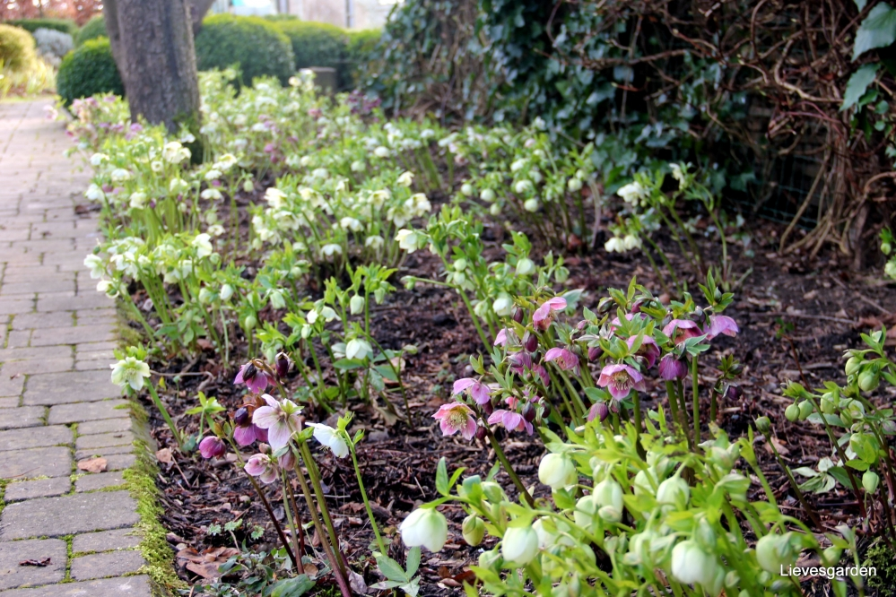 helleborus orientalis,snoeien helleborus orientalis,helleborus foetidus,groenblijvende struik,winterbloeier