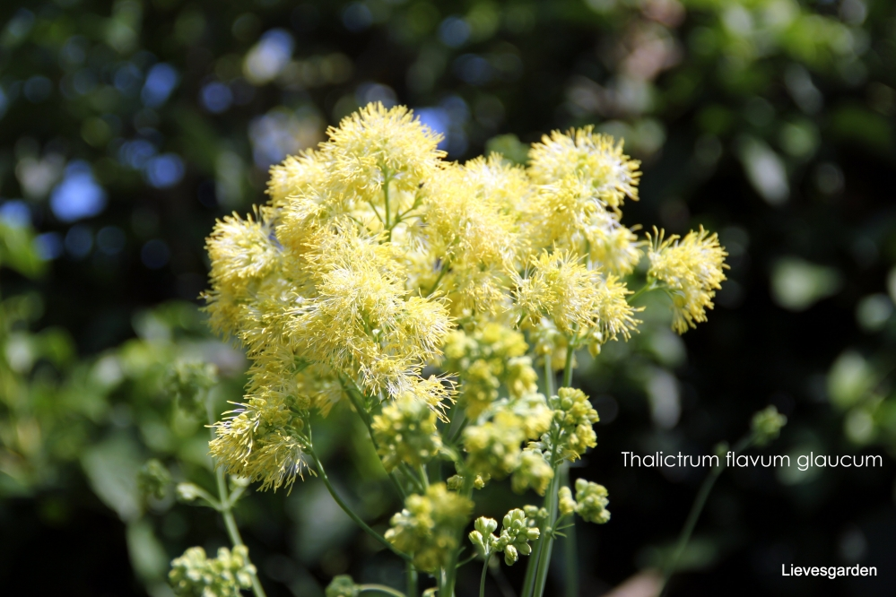 thalictrum flavum glaucum,gele zomerbloeier,vaste plant,hoge borderplant,blauw groen blad,bijen en vlinderplant