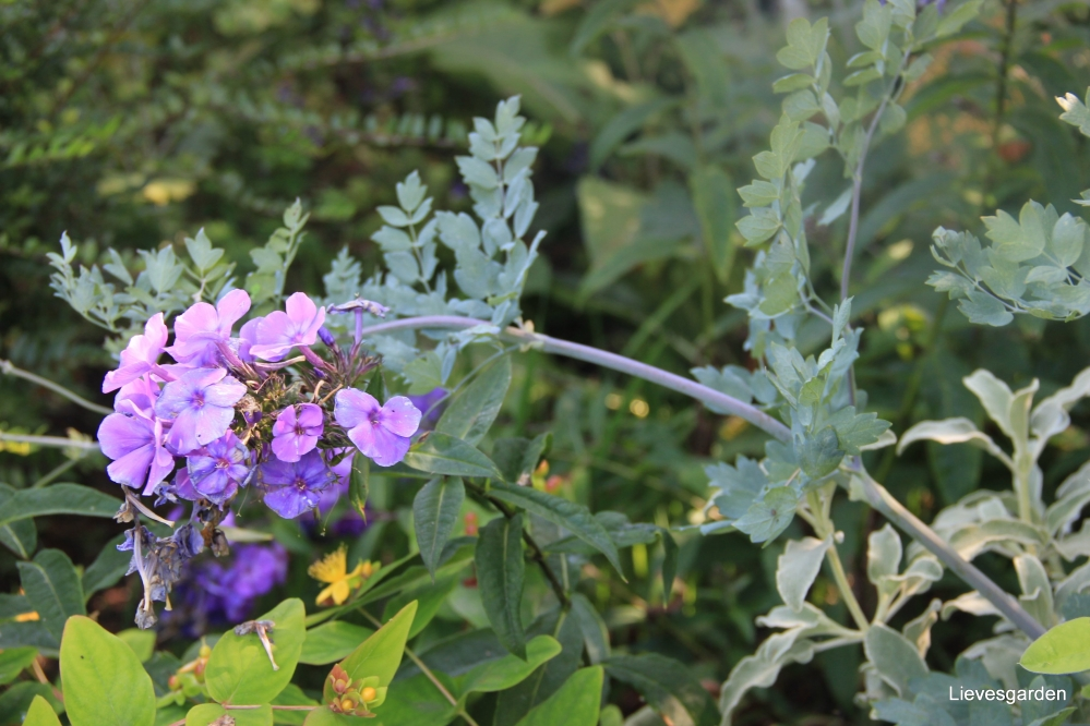 phlox  blue paradise,vlinderplant