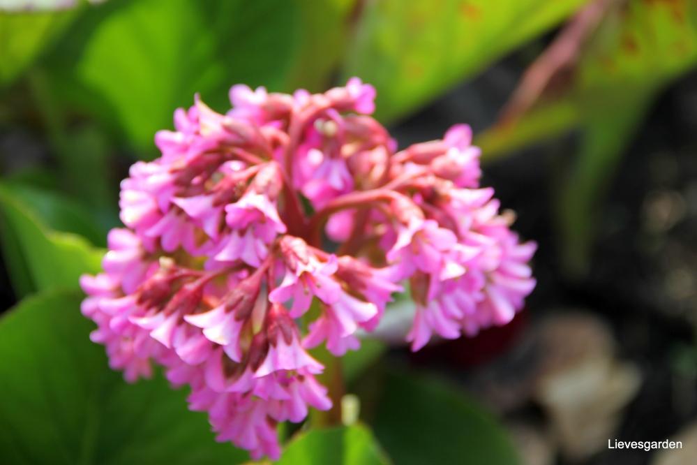 geranium psilostemon,alchemilla mollis,bergenia