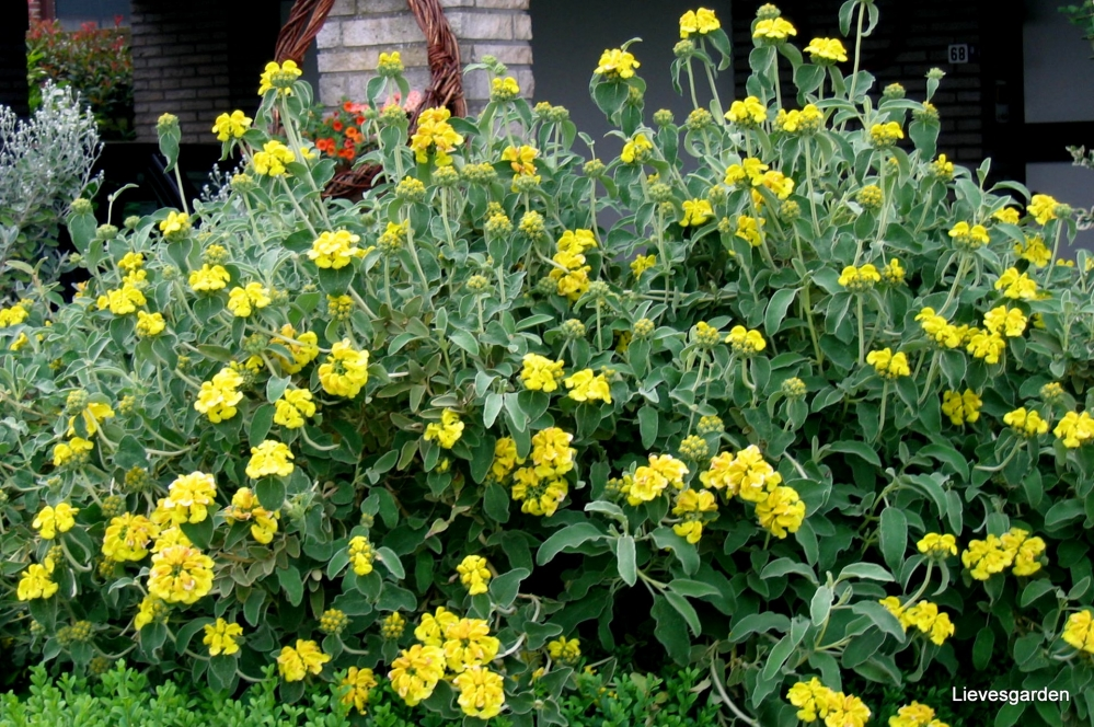 grijze bladeren,phlomis fruticosa,wintergroene struik,gele bloemen,waardevolle struik