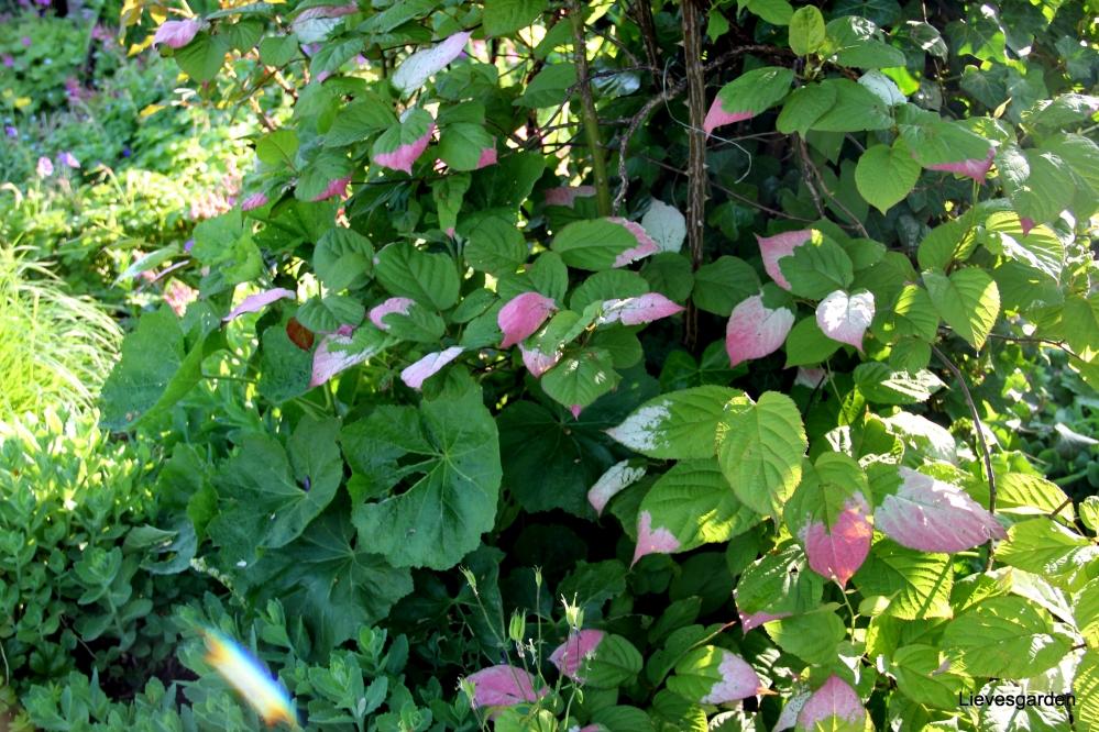 klimplant,vermeerderen actinidia,super-hardy kiwi,straalstempel,actinidia kolomikta
