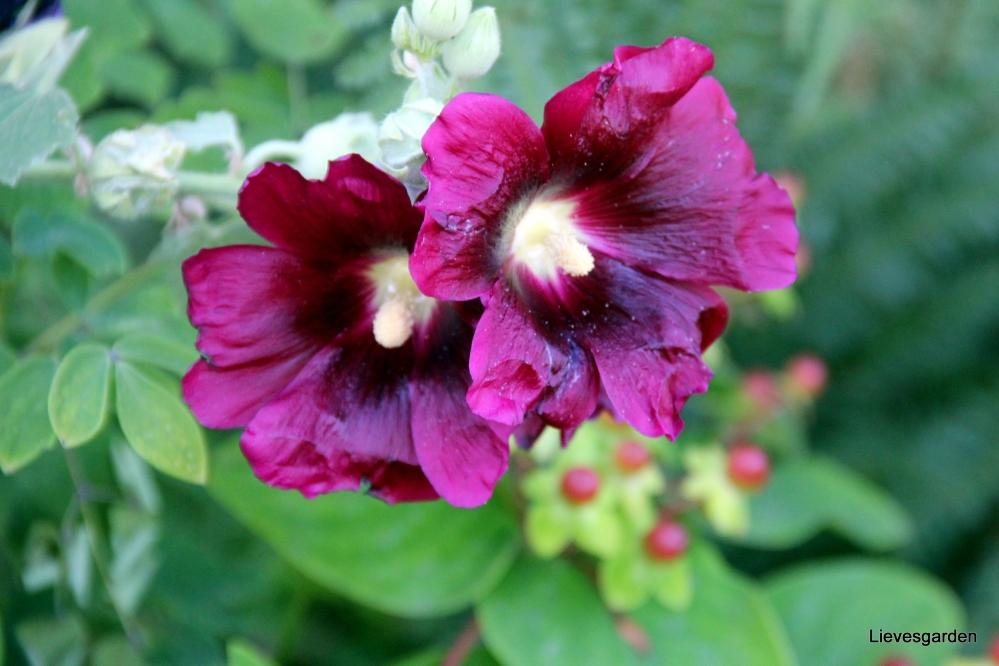 stokrozen,zomerbloeiers,alcea rosea,verticaal tuinieren