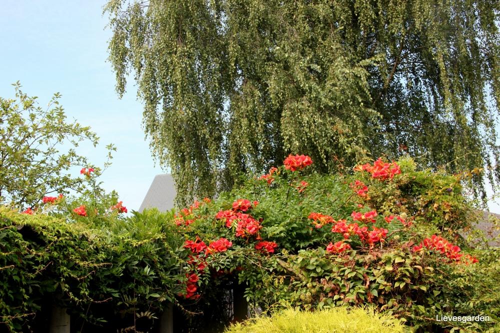 campsis tagliabuana madam galen,trompetboom,jasmin de virginie,rood-oranje klimplant
