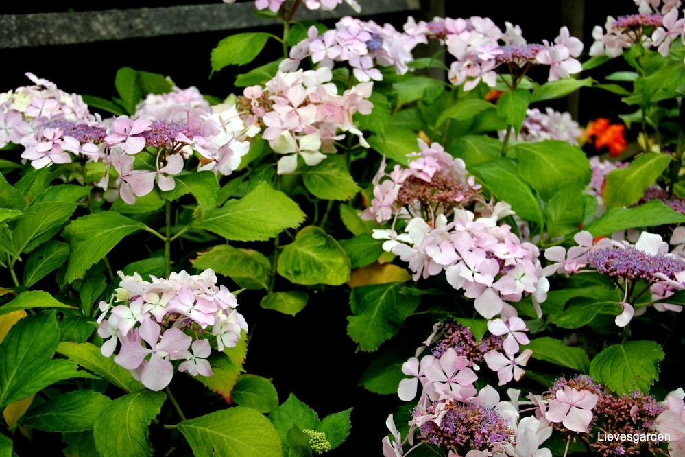 """randbloeiende hydrangea,lacecap hydrangea,hydrangea """"brympton mauve"""",hortensia"""