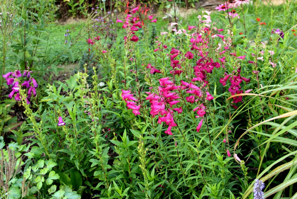 penstemon « rich ruby »,terke penstemon,diep wijnrode bloemen